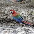 Red-and-green macaw, Ara chloropterus — Stock Photo