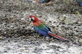 Red-and-green macaw, Ara chloropterus — Stock Photo