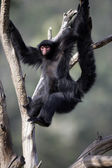 Red-faced spider monkey, Ateles paniscus — Stock Photo