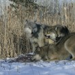 Stock Photo: Grey wolf, Canis lupus