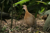 Red-winged tinamou, Rhynchotus rufescens — Stock Photo