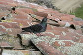 Pigeon biset, columba livia — Photo