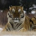Siberian tiger, Panthera tigris altaica — Stock Photo #34709057