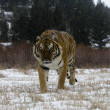 Stock Photo: Siberian tiger, Panthera tigris altaica