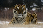 Siberian tiger, Panthera tigris altaica — Stock Photo