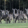 Sika deer, Cervus nippon, — Stock Photo
