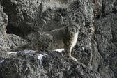 Snow leopard, Uncia uncia — Stock Photo