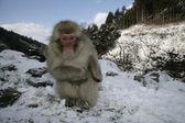 Snow monkey or Japanese macaque — Stok fotoğraf