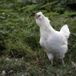 Stock Photo: White araucana,
