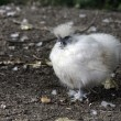 Stock Photo: White silkie