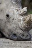 White rhino, Ceratotherium simum — Stock Photo
