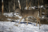 White-tailed deer, Odocoileus virginianus — Stock Photo