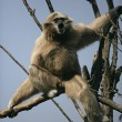 White-handed gibbon, Hylobates lar — Stock Photo