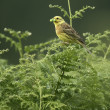 Yellowhammer, Emberizcitrinella — Stock Photo #35067715