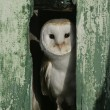 Barn owl, Tyto alba — Stock Photo