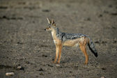 Black-backed jackal, Canis mesomelas, — Foto Stock