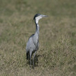 Black-headed heron, Ardea melanocephala — Stock Photo