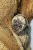黑吼猴带 — 图库照片