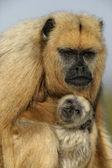 Black-howler monkey, Alouatta caraya — Stock Photo