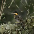 Stock Photo: Campo flicker, Colaptes campestris