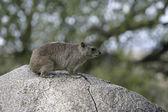 Bush hyrax or Yellow-spotted rock dassie, Heterohyrax brucei — Foto de Stock