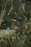Campo flicker, Colaptes campestris — Stock Photo