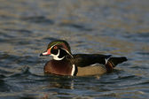 Carolina or Wood duck, Aix sponsa — Stock Photo