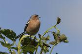 Chaffinch, Fringilla coelebs — Stok fotoğraf