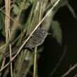 Stock Photo: Dusky-tailed antbird, Drymophilmalura,