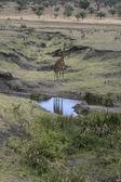 Giraffe, Giraffa camelopardalis, — Stockfoto
