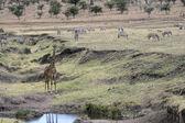 Giraffe, Giraffa camelopardalis, — Foto de Stock