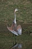 Goliath heron, ardea goliat — Stockfoto