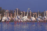 Greater flamingo, Phoenicopterus ruber — Stock Photo