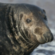 Grey seal, Halichoerus grypus — Stock Photo