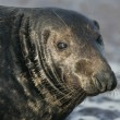 Stock Photo: Grey seal, Halichoerus grypus