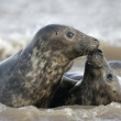 Grey seal, Halichoerus grypus — Stock Photo #35820927