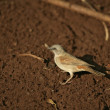 Grey-headed sparrow, Passer griseus — Stock Photo