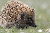 Hedgehog, Erinaceus europaeus — Stock Photo