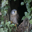 Kestrel, Falco tinnunculus — Stock Photo #36361879