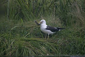 Lesser black-backed gull, Larus fuscus — 图库照片