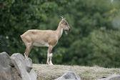 Markhor goat, Capra falconeri — Stock Photo