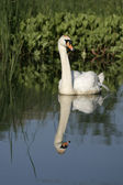 Mute swan ,Cygnus olor — Stock Photo