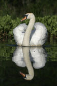 Mute swan ,Cygnus olor — Stock Photo