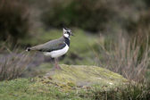 Northern lapwing, Vanellus vanellus — Stock Photo