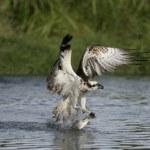 Osprey, Pandion haliaetus — Stock Photo