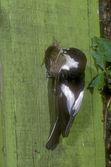Pied flycatcher, Ficedula hypoleuca — Stock Photo
