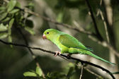 Plain parakeet, Brotogeris tirica — 图库照片
