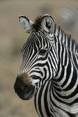 Plains zebra, Equus quaggai — Stock Photo