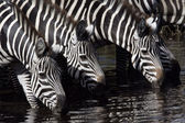 Plains zebra, Equus quaggai — Stock Photo