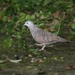 Stock Photo: Ruddy ground-dove, Columbintalpacoti
